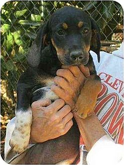 Wirehaired Pointing Griffon/Beagle Mix Puppy for adoption in Oswego, New York - Shelby