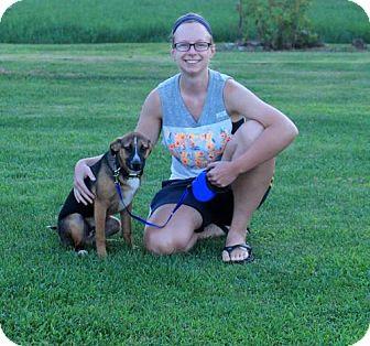 Corgi/Pug Mix Dog for adoption in Northville, Michigan - K15 Arlo-ADOPTED