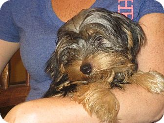 Yorkie, Yorkshire Terrier Mix Puppy for adoption in Allentown, Pennsylvania - Rory