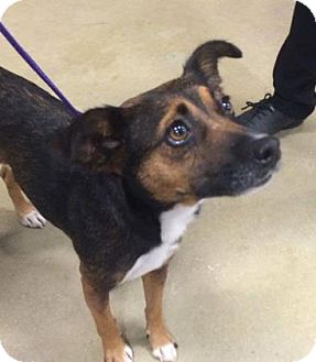 Chihuahua/Jack Russell Terrier Mix Dog for adoption in Gainesville, Florida - Stella