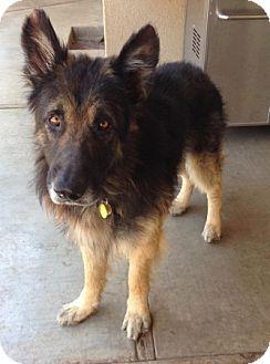 German Shepherd Dog Dog for adoption in Sacramento, California - Merrill