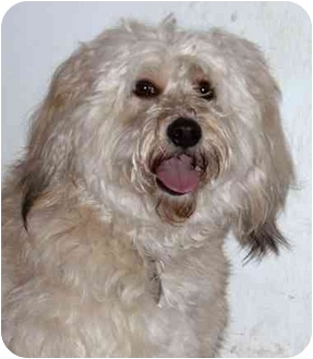 Wheaten Terrier/Poodle (Miniature) Mix Dog for adoption in Rolling Hills Estates, California - Lola
