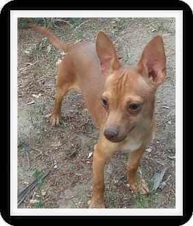 Chihuahua/Dachshund Mix Puppy for adoption in Winchester, California - DENNIS THE MENACE