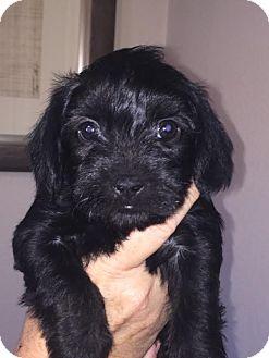 Lhasa Apso Mix Puppy for adoption in Las Vegas, Nevada - DELANO
