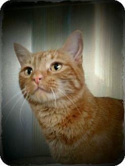 Domestic Shorthair Cat for adoption in Pueblo West, Colorado - Bart