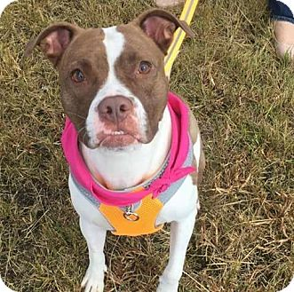 Boxer/American Pit Bull Terrier Mix Dog for adoption in Channahon, Illinois - Dolly