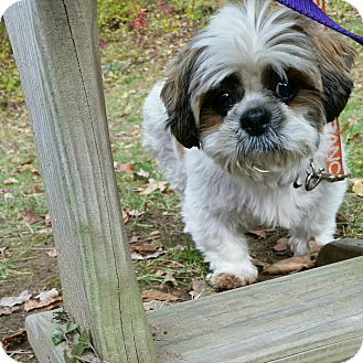 Shih Tzu Dog for adoption in Mount Kisco, New York - DeeDee