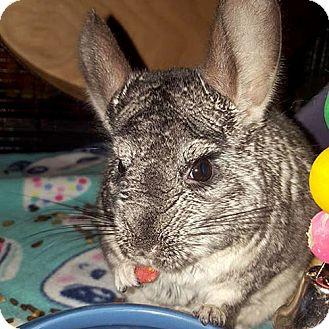 Chinchilla for adoption in Lindenhurst, New York - Kiki