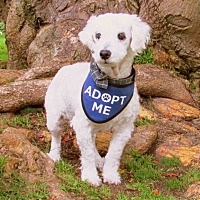 Adopt A Pet :: Wilkie is a lover! - Redondo Beach, CA
