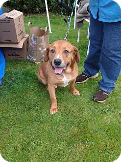 Labrador Retriever/Mixed Breed (Medium) Mix Dog for adoption in Portland, Oregon - Rocky