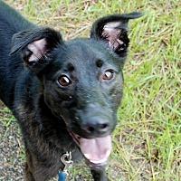 Collie/Labrador Retriever Mix Dog for adoption in Salem, West Virginia - Gypsy