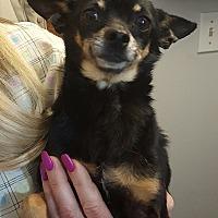 Adopt A Pet :: Apallo - Elsberry, MO