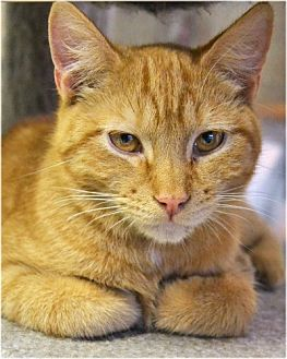 Domestic Shorthair Cat for adoption in Huntington, New York - Fagan