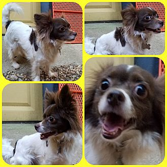 Chihuahua Mix Dog for adoption in Newnan, Georgia - Riley