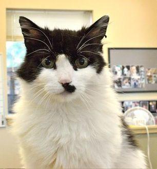 Domestic Mediumhair/Domestic Shorthair Mix Cat for adoption in Redmond, Oregon - LaLa