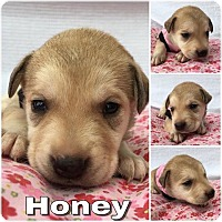 Adopt A Pet :: Honey - Waxhaw, NC
