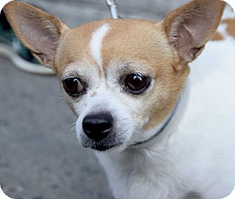 Chihuahua Mix Dog for adoption in New York, New York - Bybee
