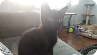 Domestic Shorthair Kitten for adoption in Columbus, Ohio - Neptune