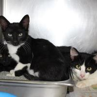 Adopt A Pet :: 36116946 - Cleveland, AL