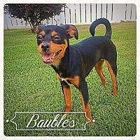 Adopt A Pet :: Baubles - Wilson, NC