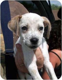 Spaniel (Unknown Type)/Boxer Mix Puppy for adoption in tucson, Arizona - Kanny