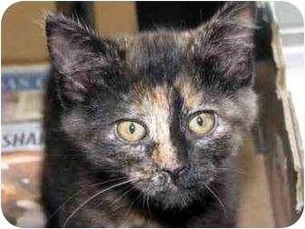 Domestic Shorthair Kitten for adoption in Overland Park, Kansas - Rainbow