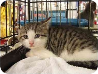 Domestic Shorthair Kitten for adoption in Frenchtown, New Jersey - Angel