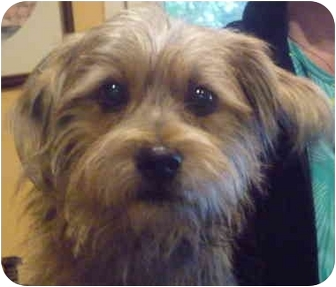 Yorkie, Yorkshire Terrier/Terrier (Unknown Type, Small) Mix Dog for adoption in Greensboro, North Carolina - Benji