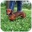Photo 2 - Dachshund Dog for adoption in Seneca, South Carolina - BUDDY