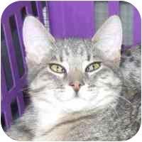 Domestic Shorthair Cat for adoption in Coleraine, Minnesota - Lester
