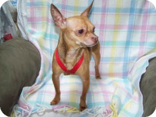 Chihuahua Mix Dog for adoption in Seattle, Washington - Patrone