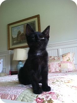 Domestic Shorthair Kitten for adoption in West Palm Beach, Florida - AUDI