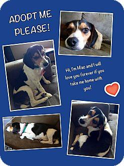 Beagle Mix Dog for adoption in Baton Rouge, Louisiana - Mac