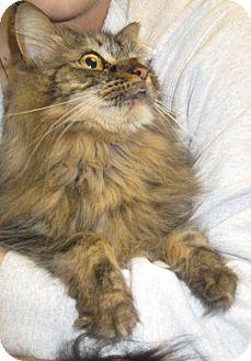 Maine Coon Cat for adoption in Warwick, Rhode Island - Harley