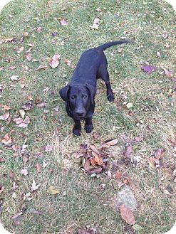Labrador Retriever Mix Puppy for adoption in New Boston, Michigan - Delta