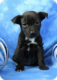 Boxer Mix Puppy for adoption in Westminster, Colorado - Potts