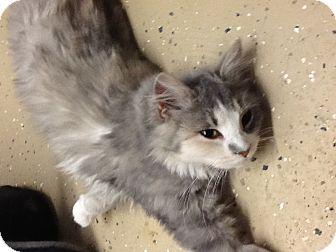 Domestic Longhair Cat for adoption in Douglas, Wyoming - Cali