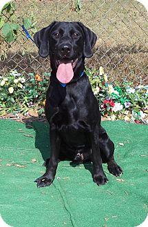 Labrador Retriever Dog for adoption in Marietta, Georgia - BRINKS (R)