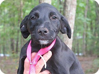 Labrador Retriever/Golden Retriever Mix Puppy for adoption in Hagerstown, Maryland - Sugar Smacks