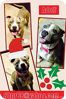 American Pit Bull Terrier Mix Dog for adoption in South Park, Pennsylvania - Adolph