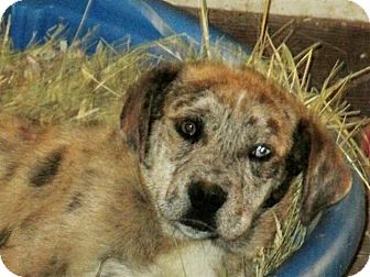 Australian Shepherd/Australian Cattle Dog Mix Puppy for adoption in Liberty Center, Ohio - Freckles