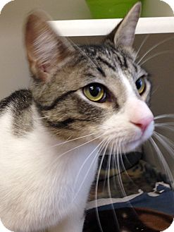 Domestic Shorthair Cat for adoption in Mission Viejo, California - Barrow