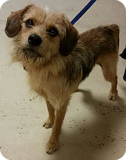 Terrier (Unknown Type, Small) Mix Dog for adoption in Struthers, Ohio - Scruffy 1 YR OLD