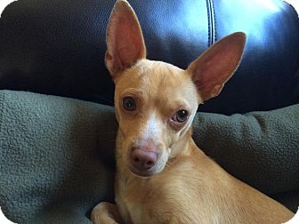 Chihuahua Dog for adoption in West Los Angeles, California - Jack