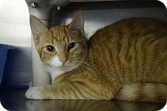 Domestic Shorthair Kitten for adoption in Elyria, Ohio - Goldie