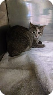 Domestic Shorthair Cat for adoption in Flat Rock, Michigan - Winter