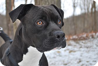 Boxer/Pit Bull Terrier Mix Dog for adoption in New Castle, Pennsylvania - Brady