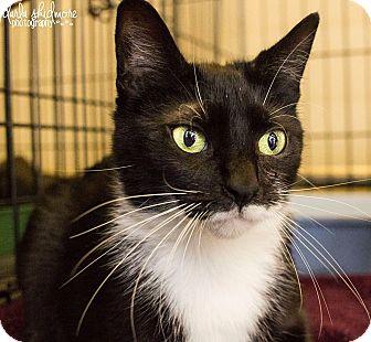 Domestic Shorthair Cat for adoption in Charlotte, North Carolina - A..  Rowan