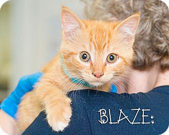Domestic Shorthair Kitten for adoption in Somerset, Pennsylvania - Blaze
