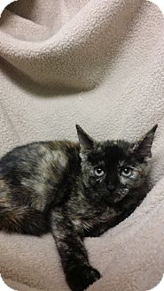 Domestic Shorthair Kitten for adoption in Berlin, Connecticut - Ella